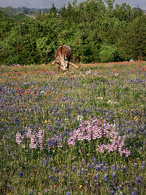 Photograph - Longhorn In Wildflowers by Charles McKelroy