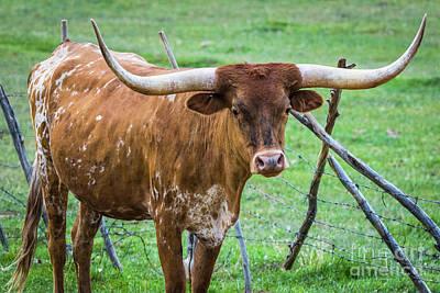 Photograph - Longhorn#1 by Vincent Bonafede