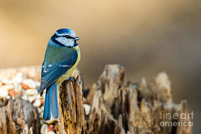 Blue Tit Photograph - Looking Around by Torbjorn Swenelius