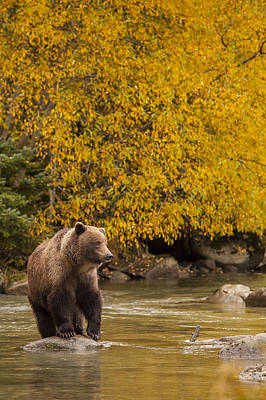 Brown Bear Photograph - Looking For An Autumn Meal by Tim Grams