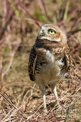 Burrowing Owl Photograph - Looking Up by Mike Dawson