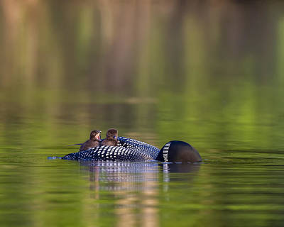 Photograph - Loon Chick Yawn by John Vose