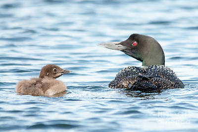 Photograph - Loon Family by Cheryl Baxter