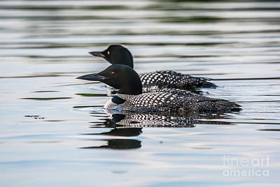 Photograph - Loons On Clayton Lake by Cheryl Baxter