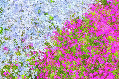 Pink And Purple Phlox Art Print