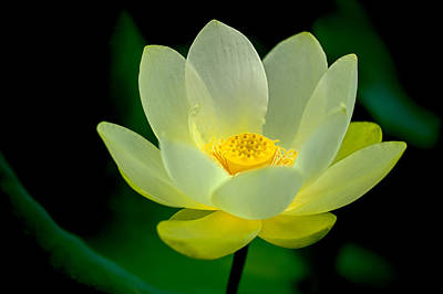 Photograph - Lotus Blossom by Tyson and Kathy Smith