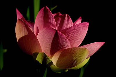 Art Print featuring the photograph Lotus Flower 2 by Buddy Scott