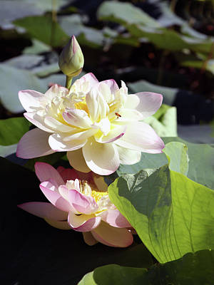 Photograph - Lotus In Bloom by John Lautermilch
