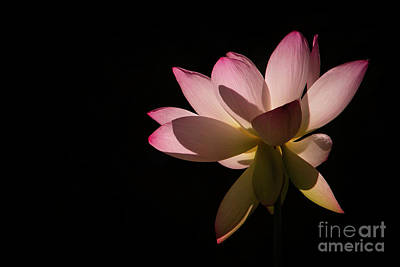Photograph - Lotus In The Pink by Sabrina L Ryan