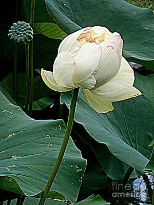 Photograph - Lotus Lovely by Nancy Kane Chapman