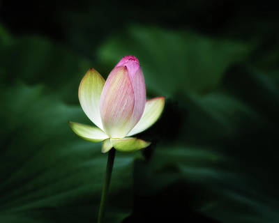 Photograph - Lotus by Richard Macquade