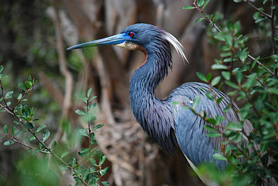 Louisiana Heron Art Print by Skip Willits
