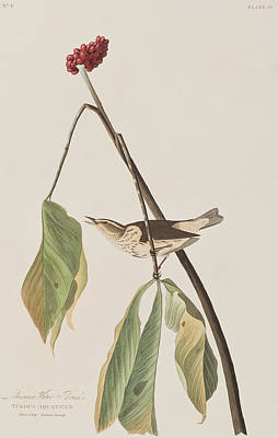 Nineteen Painting - Louisiana Water Thrush by John James Audubon