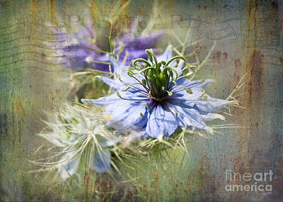 Photograph - Love In A Mist by Liz Alderdice