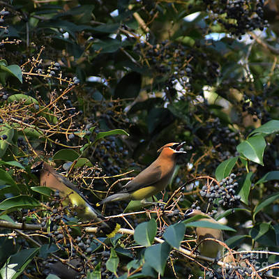 Cedar Waxing Photograph - Love Those Berries by Skip Willits