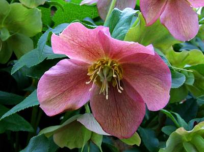 Photograph - Lovely Lenten Rose by Michiale Schneider