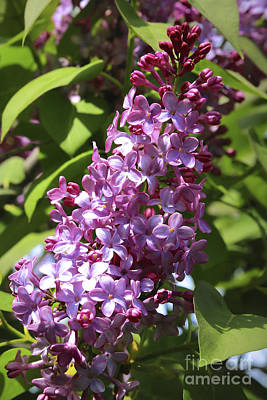 Lilacs And Flowers Photograph - Lovely Lilacs by Carol Groenen