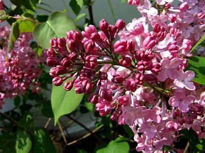 Photograph - Lovely Lilacs by Michiale Schneider