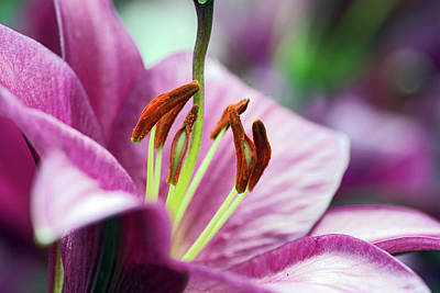 Photograph - Lovely Lily by Edward Congdon