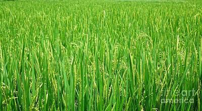 Photograph - Lush And Green Rice Field by Yali Shi