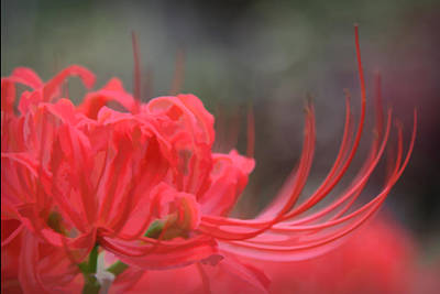 Photograph - Lycoris Radiata by Patricia Montgomery