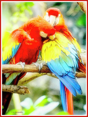 Peacock Feathers - Macaw Pair in Grooming Behavior by A Macarthur Gurmankin