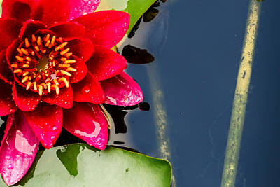 Photograph - Red Water Lily Flower by John Williams