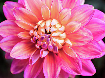 Photograph - Magenta Dahlia by Louise Lindsay