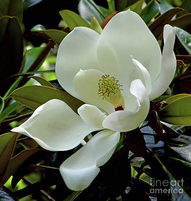 Photograph - Magnificent Southern Magnolia Blossom by D Hackett