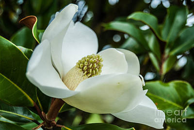 Photograph - Magnolia Bloom IIi by Pamela Williams