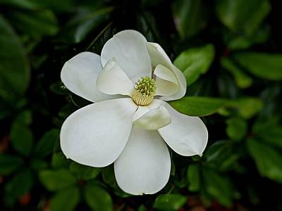 Photograph - Magnolia Blossom by Joe Duket