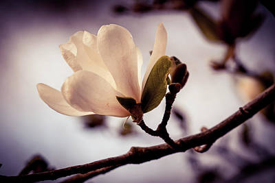 Photograph - Magnolia Flower by Lilia D