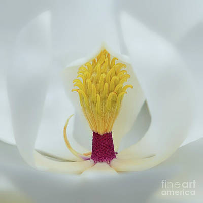 Photograph - Magnolia Flower by Olga Hamilton