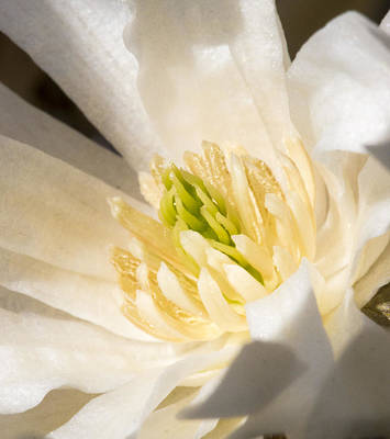 Photograph - Magnolia Flower - Uw Arboretum - Madison - Wisconsin by Steven Ralser