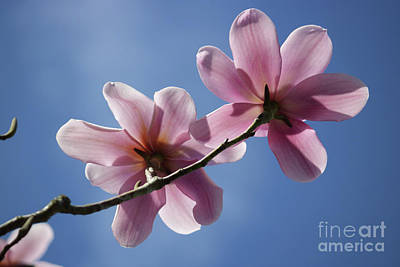 Photograph - Magnolia Flowers by Julia Gavin
