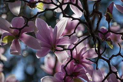 Magnolia Net - Art Print