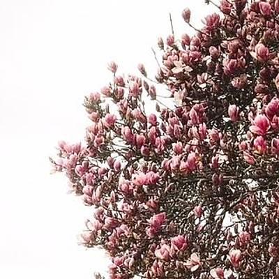 Photograph - Magnolia by Toni Martsoukos