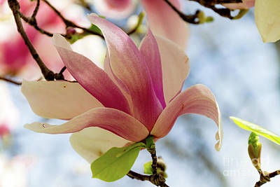 Photograph - Magnolia by William Norton
