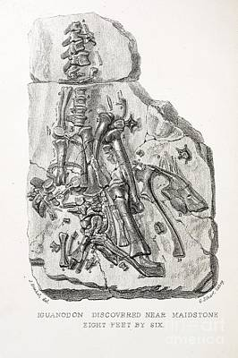 Mantell Photograph - Maidstone Iguanodon Mantell Piece, 1838 by Paul D. Stewart