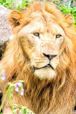Wildlife Photograph - Majestic Lion by Jijo George