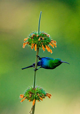 Malachite Sunbird Nectarinia Famosa Art Print by Panoramic Images