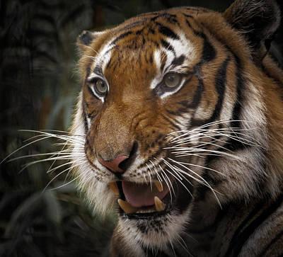 Photograph - Malayan Tiger by Bill Martin