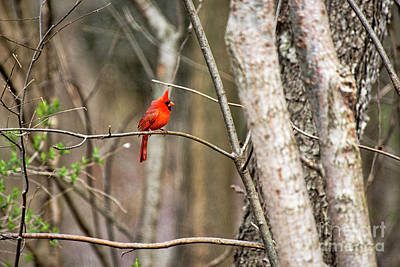 Photograph - Male Cardinal by David Arment
