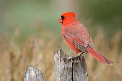 Photograph - Male Cardinal by David Waldrop