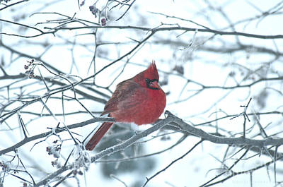 Photograph - Male Cardinal In Winter by David Arment