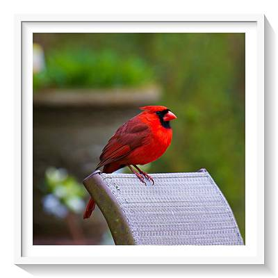 Photograph - Male Cardinal by Robert L Jackson