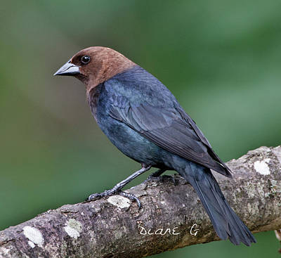 Photograph - Male Cowbird by Diane Giurco