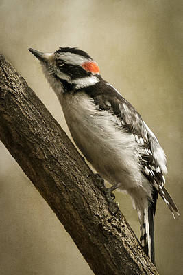 Photograph - Male Downy Woodpecker by Lauren Brice