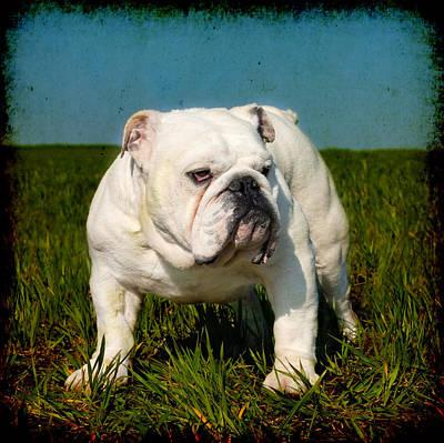 Looking At Camera Mixed Media - Male English Bulldog by Boyan Dimitrov