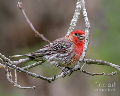 Photograph - Male House Finch by Amy Porter